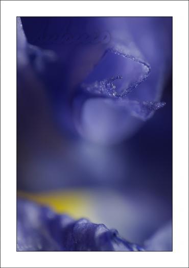 Lirio azul