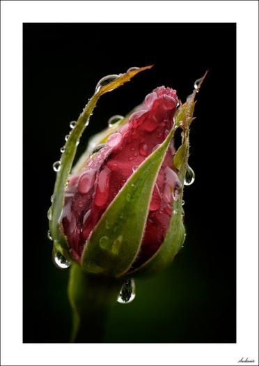 Las lágrimas de Rosa
