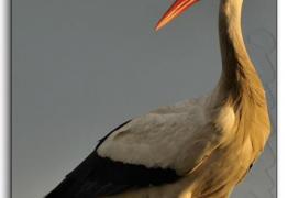 Ciconia-ciconia